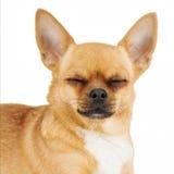 与在白色背景隔绝的闭合的眼睛的红色奇瓦瓦狗狗。 库存图片