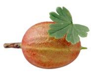 与在白色背景隔绝的绿色叶子的鹅莓 免版税库存图片