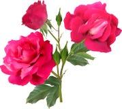与在白色隔绝的三绽放的黑暗的桃红色玫瑰 库存照片
