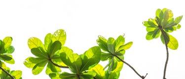 与在白色隔绝的绿色叶子的树枝, 库存照片