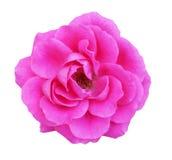 与在白色隔绝的叶子的美丽的桃红色玫瑰 免版税库存图片
