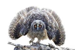与在白色隔绝的开放翼的小的猫头鹰之子 图库摄影