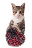 与在白色隔绝的礼物盒的常设灰色猫 免版税库存照片