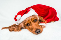 与在白色隔绝的红色圣诞节圣诞老人帽子的逗人喜爱的狗 免版税库存照片