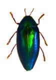 与在白色隔绝的色的装甲的甲虫。Sternocera aequisig 库存图片