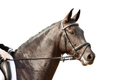 与在白色隔绝的辔的黑体育马画象 免版税库存图片