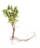 与在白色隔绝的长的根的杜松 图库摄影