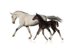 与在白色隔绝的驹的母马 库存照片