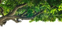 与在白色隔绝的绿色叶子的大热带树,水平 库存照片