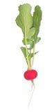 与在白色隔绝的绿色叶子的红色萝卜 库存图片