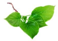 与在白色隔绝的年轻绿色春天叶子的分支 库存照片
