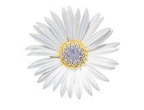 与在白色隔绝的紫色雌蕊的白色春黄菊花 库存照片
