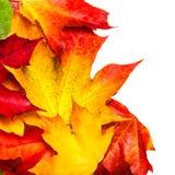 与在白色backgroun隔绝的槭树叶子的秋天构成 免版税图库摄影