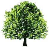 与在白色backgroun隔绝的绿色叶子的树 免版税库存图片