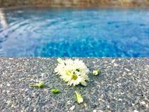 与在石地板上把放的芽的白色翠菊花在游泳场附近 库存照片