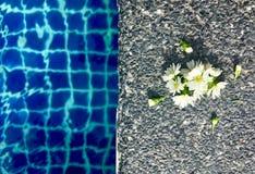 与在石地板上把放的芽的绽放白色翠菊花在游泳场附近 库存图片