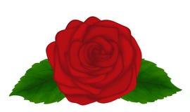 与在空白背景查出的叶子的美丽的红色玫瑰。 看板卡和装饰的巨大设计要素 向量例证