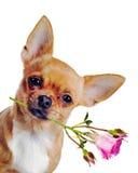与在空白背景查出的玫瑰的奇瓦瓦狗狗 库存照片