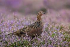 与在紫色石南花的红色松鸡,朝右边看 免版税库存图片