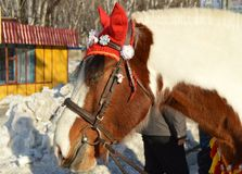 与在红色骑马兜帽穿戴的白色鬃毛的布朗马在公园站立户外,微笑,幽默 免版税库存图片