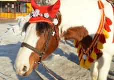 与在红色骑马兜帽穿戴的白色鬃毛的布朗马在公园站立户外,微笑,幽默 免版税图库摄影