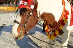 与在红色骑马兜帽穿戴的白色鬃毛的布朗马在公园站立户外,微笑,幽默 库存图片