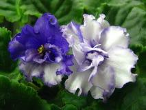 与在绿色背景和一个波浪边缘的白蓝色花隔绝的一个蓝色中心 免版税图库摄影