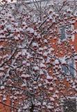 与在雪下的莓果群的花揪分支在城市在冬天 免版税库存照片