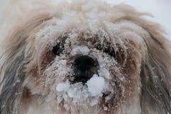 与在雪盖的它的鼻子的狗 免版税库存照片