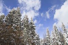 与在雪盖的杉树的冬天风景 图库摄影