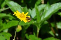 与在飞行中接近花粉的大袋的蜜蜂登陆在一朵黄色象雏菊样的野花在泰国 图库摄影