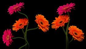 与在黑背景隔绝的词根的桃红色和橙色大丁草 图库摄影