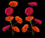 与在黑背景隔绝的词根的桃红色和橙色大丁草 免版税库存照片