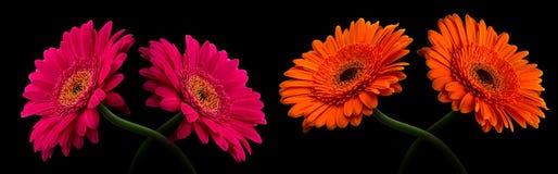 与在黑色隔绝的词根的桃红色或红色大丁草 免版税库存照片
