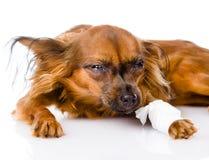 与在绷带被包裹的一条受伤的腿的俄国玩具狗 库存照片