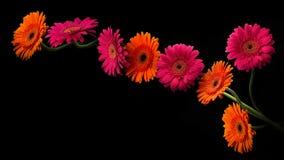 与在黑背景隔绝的词根的桃红色和橙色大丁草 库存照片