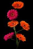 与在黑背景隔绝的词根的桃红色和橙色大丁草 库存图片