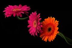 与在黑背景隔绝的词根的桃红色和橙色大丁草 免版税库存图片