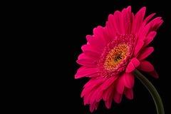 与在黑背景隔绝的词根的桃红色或红色大丁草 免版税图库摄影