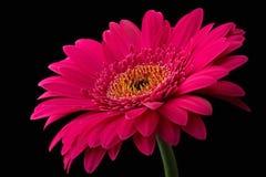 与在黑背景隔绝的词根的桃红色或红色大丁草 库存照片