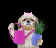 与在黑色和喷壶的逗人喜爱的花匠女孩狗隔绝的花 免版税库存照片