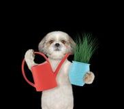 与在黑色和喷壶的逗人喜爱的花匠狗隔绝的花 库存图片
