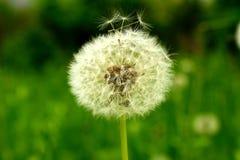与在绿色背景隔绝的盛开的种子的蓬松蒲公英花 免版税库存图片