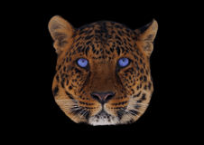 与在黑色隔绝的蓝眼睛头的豹子 库存图片