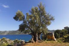 与地中海场面的年迈的橄榄树 免版税库存图片