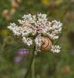 与地中海蜗牛的野胡萝卜花 免版税库存图片