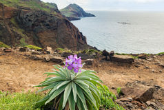 与地方性花Matthiola maderensis,马德拉岛海岛的海岸线视图 库存图片