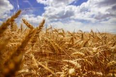 与地球的丰厚的麦子毛线 免版税图库摄影