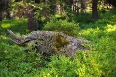 与地衣、青苔和蓝莓的植被的干树桩在云杉的森林,国家公园大山,捷克共和国里 库存图片