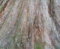 与地衣和青苔的树皮背景 库存照片